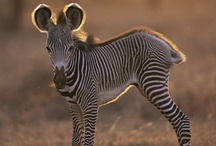 I ♥ Zebras!! / I am completely addicted to zebras!!!