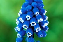 Muscari / by fioridipoesia