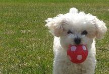 Miniature Poodle / dogs