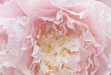"""pink flowers / Vous êtes belles, mais vous êtes vides, leur dit-il encore.On ne peut pas mourir pour vous. Bien sûr, ma rose à moi, un passant ordinaire croirait qu'elle vous ressemble. Mais à elle seule, elle est plus importante que vous toutes, puisque c'est elle que j'ai arrosée...Puisque c'est ma rose"""" Antoine de Saint-Exupéry"""