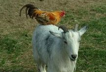 Backyard Farm / Goats and chickens