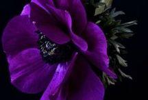 viola e nero
