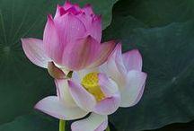 fiori di lotus