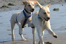 Dog Friendly Beaches / What dog doesn't love to play in the surf and sand?  #dogbeaches / by TripsWithPets.com
