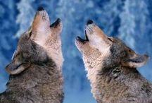 wolves / lobos / llops