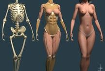 Female torso anatomy