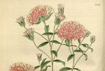 botanische Illustrationen - botanical Illustrations
