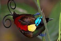 BIRDS-PARADISAEIDAE