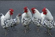 "the chickens / As one of the most common and widespread domestic animals with a population of more than 24 billion, there are more chickens in the world than any other species of bird. If you want to become a contributor to this board email me at digitalloon@hotmail.com and I'll send you an invite. You can add other pinners by going to ""edit"" on the board and sending them an invite!"