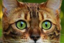 Green Eyes / They are most common in Northern and Central Europe. They can also be found in Southern Europe and Western Asia. In Ireland 20% of people have brown eyes and 80% have either blue or green eyes. In Iceland, 89% of women and 87% of men have either blue or green eye color. Green eyes are common in Tabby cats.