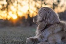 Golden Retrievers / Harper Rose, Cooper Jack, and dogs that look just like them / by Julie Waraksa
