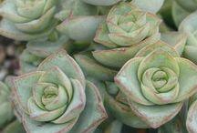 - Succulents -