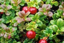 North America: Native fruits / Blueberries, Cranberries, Concord grapes, Elderberries