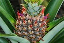 Pacific islands: Native fruits
