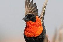Africa: Native birds