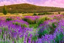 Europe: Native flowers / Crocus, Daffodills, Tulips, Roses, Lavender, Primrose, Hyacinths