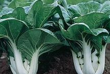 Asia: Exotic Vegetables / Vegetables that originated in Asia and did not spread to other regions of the world. These vegetables stayed mostly inside Asia until quite recently, including: Bok Choy