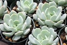 Echeveria (Central America) / Echeveria is a large genus of flowering plants in the Crassulaceae family, native to semi-desert areas of Central America, Mexico and northwestern South America.
