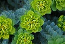 Euphorbia / Euphorbia is a very large and diverse genus of flowering plants in the spurge family (Euphorbiaceae). Some euphorbias are well known and widely commercially available, such as Poinsettias at Christmas.
