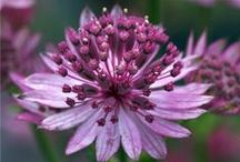 Astrantia (Europe) / Astrantia is a genus of herbaceous plants in the family Apiaceae, endemic to Eastern and Southern Europe. There are 8 or 9 species, which have aromatic roots, palmate leaves, and decorative flowers. Astrantia can be commonly known as masterwort or great masterwort.