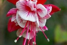 Fuchsia (Central America) / The majority of Fuchsia species are native to Central and South America. A small additional number are found on Hispaniola (two species), in New Zealand (three species) and on Tahiti (one species).