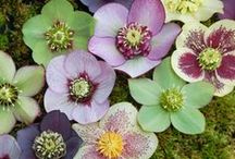 Hellebores (Europe) / Various species of this genus originated in Europe and Asia. The greatest concentration of species occurs in the Balkans. One atypical species (H. thibetanus) comes from western China; another atypical species (H. vesicarius) inhabits a small area on the border between Turkey and Syria.