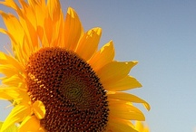 Sunflowers ♥