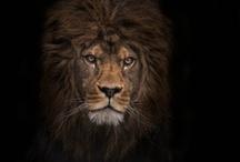 Lion art / by Juut Veldmuis