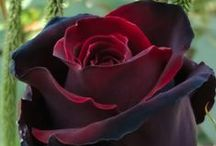 Passion Roses / all roses of all the wonderful colors