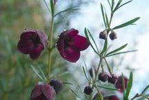 Rutaceae