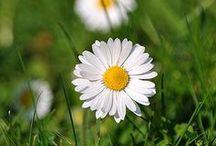 Daisies / Just daisies.