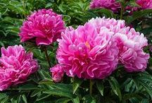 Late Season Peonies / You can keep the Peony season going by planting strategically. The varieties on this board are late season varieties, which means that they typically bloom toward the end of June in our area (northwest Connecticut). Plant them with early and mid-season varieties and you can have Peony blooms for weeks!  If you are looking for more diversity, try some of the companion plants on this board or any others that bloom in June.  / by White Flower Farm
