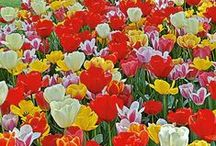 WFF's Tulip Mixes / Thinking about planting large numbers of Tulips? Then you should definitely be looking at White Flower Farm's Tulip Collections. The need to guess about successful variety combinations has been eliminated by our staff gardeners and the thoughtful advice of our Dutch bulb broker. The price is better on a per-bulb basis, too!   / by White Flower Farm