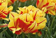 Double Tulips / The long-lasting, semidouble to double flowers of these Tulips bear a striking resemblance to double Peonies. All are good for bedding and as cut flowers, and some are excellent for forcing. The shorter, earlier varieties are also great in pots, planters, and window boxes (if protected from freezing in zones colder than 7). Most double-flowered Tulips are hardy to Zone 3. / by White Flower Farm