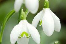 Imbolc /  Imbolc (ou la Chandeleur) marque les premiers signes du printemps (perce-neige, crocus) et l'allongement des jours. Les feux et des bougies représentent le retour du soleil. On rend hommage à la déesse Brigid