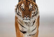 Hey, Tiger!