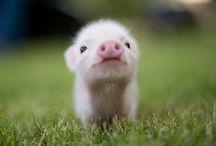 Piggy-wiggies!