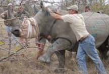 Wildlife Capture Team / Join the exciting world of a professional Wildlife Capture and Relocation team in South Africa. More information at https://www.conservationafrica.net/project-categories/wildlife-conservation-management/game-capture-team