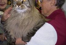 Extra Large Domestic Cats / Mankind has cared for cats as long ago as the days of the Cleopatra, maybe it's because we dote on them and feed them so much that some of them have evolved into giants! Check out the largest cats in the world that WILL eat you out of house and home.