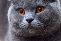British shorthair/Scottish shorthair cats / British shorthair/Scottish shorthair