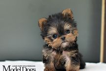 Yorkshire terriers / Yorkies