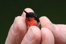 Humming birds / Hummingbirds