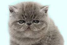 Persian and Exotic Shorthair cats