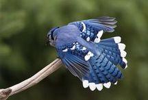 Blue Jay - Mądrosójka Błękitna