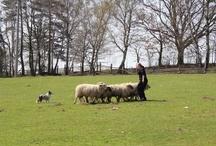 Sheepherding Načešice 20 - 21.4.2013 / our weekend training - photos by Jana Sommrová