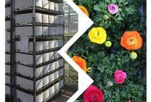 Peter van Os Nursery / Flowers Ranunculus