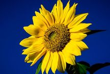<Expression of Sunflower Field>