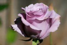 Roses / Colour