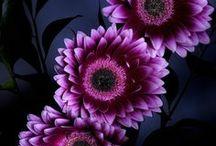 Gerbera daisies... my FAV!!!