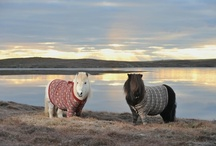 "Shetland Ponies in Sweaters / Fivla (red sweater) and Vitamin (brown sweater) are the ""pony ambassadors"" of 2013's Year of Natural Scotland, a celebration in which the country will ""discover how art and nature work so well together through outdoor art, traditional crafts and textiles and explore the many creative trails."" The ponies can be found striking poses in their winter woolies, throughout the series. The woolies were knitted out of Shetland wool by local knitter Doreen Brown. X A"